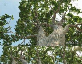 高大树木缓慢穿越追踪 4K21秒视频素材PR/AE/FCPX